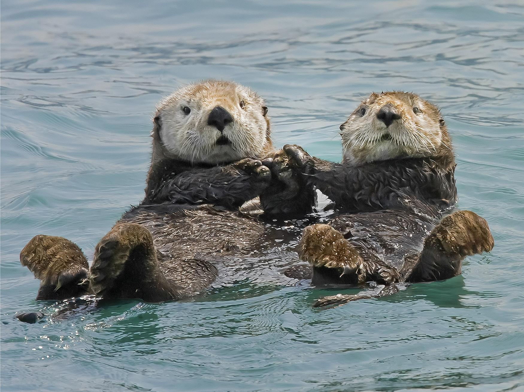 Image of two otters holding hands